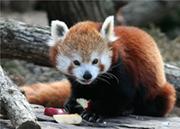 Image: panda-roux.jpg